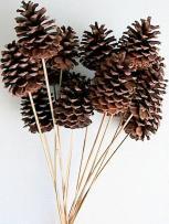stemmed-ponderosa-pine-cone_lrg